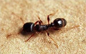Pavement Ants   pestcontrolsupplies.com