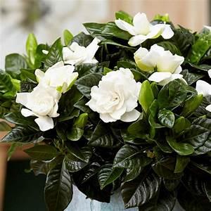 Gardenia Jasminoides Pflege : gardenie pflege eine wundersch ne pflanze mit bet rendem duft ~ A.2002-acura-tl-radio.info Haus und Dekorationen