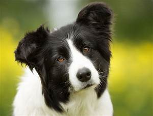 Personality Traits of Border Collie and German Shepherd ...
