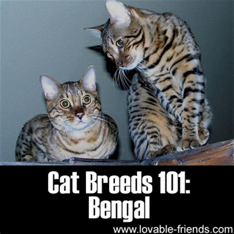 Lovable Cats Cat Breeds 101 Bengal!  Lovable Cats