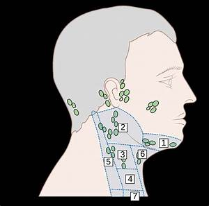 Lymph Nodes In Neck Location Diagram  U2014 Untpikapps