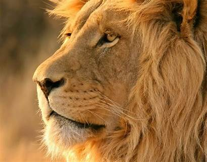 Lion African Safari Wallpapers Os Mac Mountain