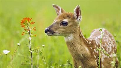 Deer Cute Baby Tailed Wallpapers Animals Desktop