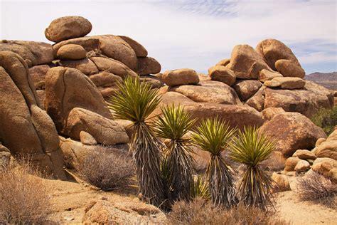 yucca palme düngen yucca palme pflege vermehren schneiden 220 berblick plantura