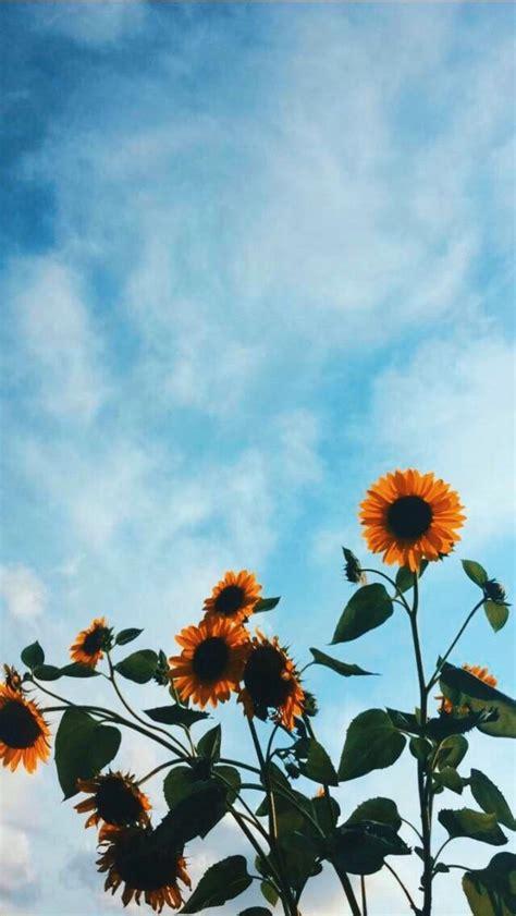 pin  farah mohamed  wallpaper sunflower wallpaper