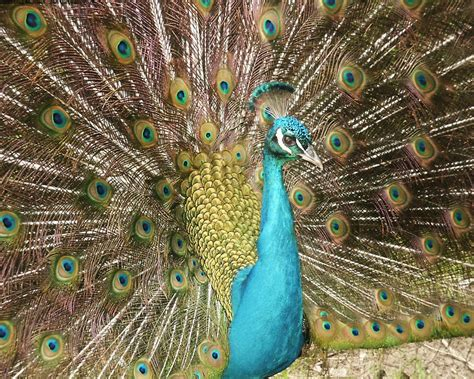 A Peacock Wallpapers  Hd Wallpapers  Id #4945