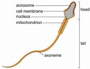 Sperm Structure