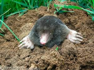 Comment Tuer Un Rat : comment tuer les souris comment tuer les rats et souris ~ Mglfilm.com Idées de Décoration