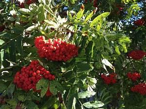 Baum Mit Roten Beeren : kostenlose foto baum frucht beere blume lebensmittel rot produzieren immergr n zweig ~ Markanthonyermac.com Haus und Dekorationen