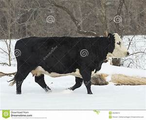 Beef Cow In The Winter Stock Images - Image: 29239874