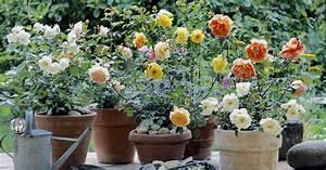 Rosen Für Balkon : rosen im topf mein sch ner garten ~ Michelbontemps.com Haus und Dekorationen