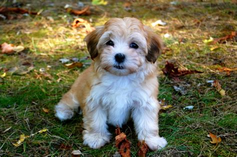 do bichon havanese shed havanese puppies breed facts pictures price