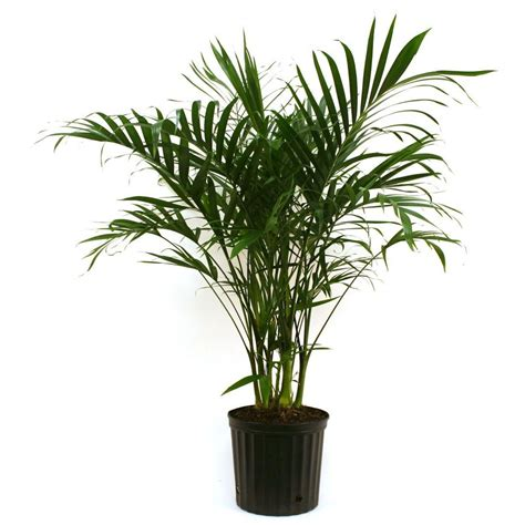 delray plants cateracterum palm in 9 1 4 in pot 10cat