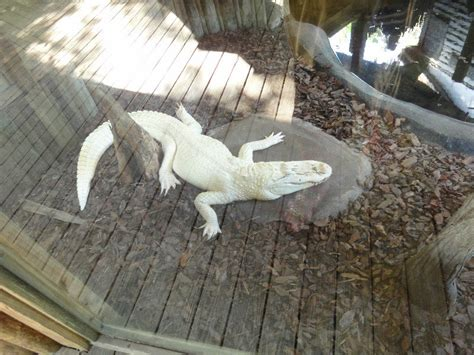 albino gater photo