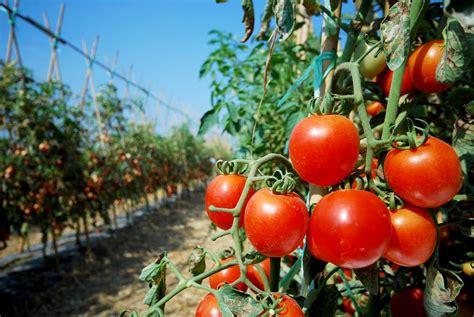 vaso per pomodori come coltivare i pomodori in vaso o nell orto non sprecare