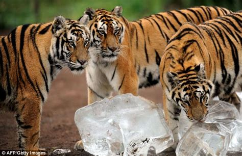 Cool Cats Siberian Tigers Beat The Heat Licking Huge