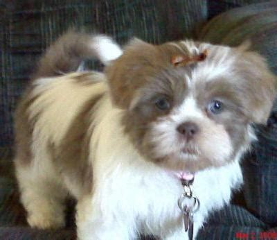 top  small dog breeds petmd petmd
