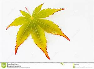 Leaf Of A Japanese Maple Tree Stock Photo - Image: 9352506