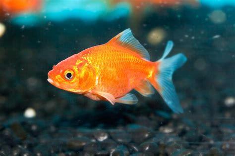 goldfish tips orange don burkesbackyard