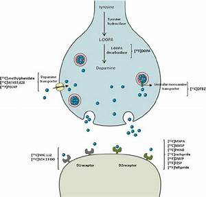 The Diagram Shows The Dopaminergic Synapse  The Tyrosine Is Transformed
