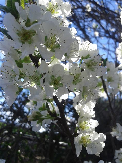 Free Images : white flower flora spring branch tree