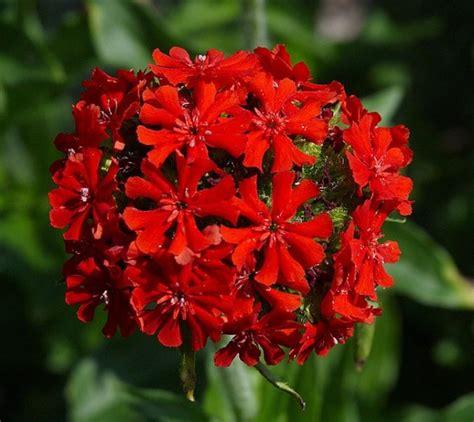 common perennial flowers perennials common name k p