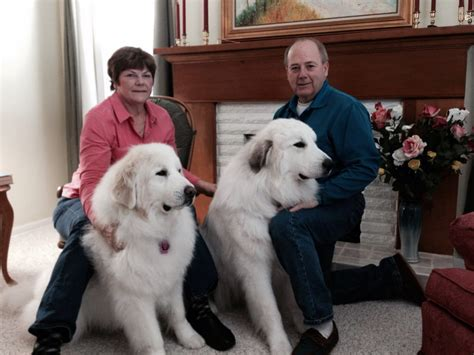 Great Pyrenees Shedding Undercoat by 100 Great Pyrenees Shedding Information Great