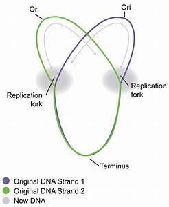 Circular Prokaryote Chromosome