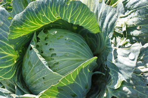 cabbage harvest pests fight  attempts  store