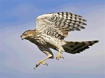 Prey Birds Hawk Cooper Coopers Hawks Species