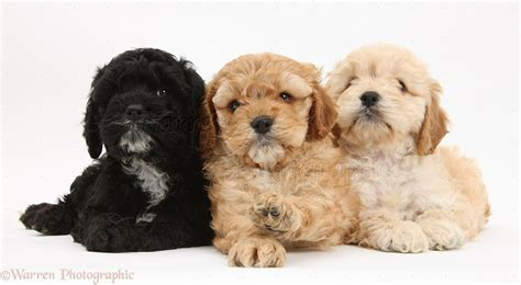 Dogs: Two golden and one black Cockapoo pups photo - WP18792