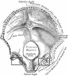 File:Gray130 Jugular notch of occipital bone.png ...