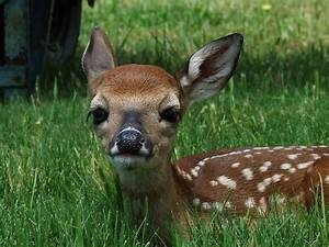 baby whitetail deer | go to kreativecapture.com | Kathy ...