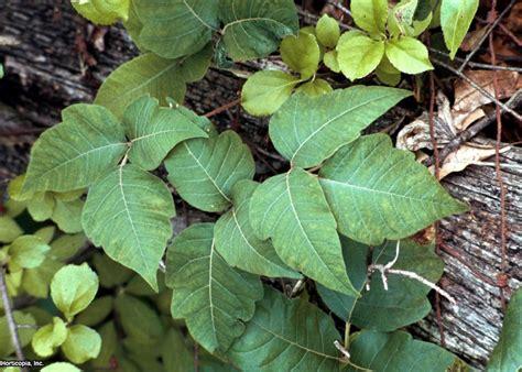 poison plant pictures poisonous plants hgtv