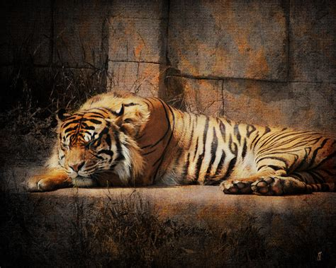 cat wall metal tiger photograph by jai johnson