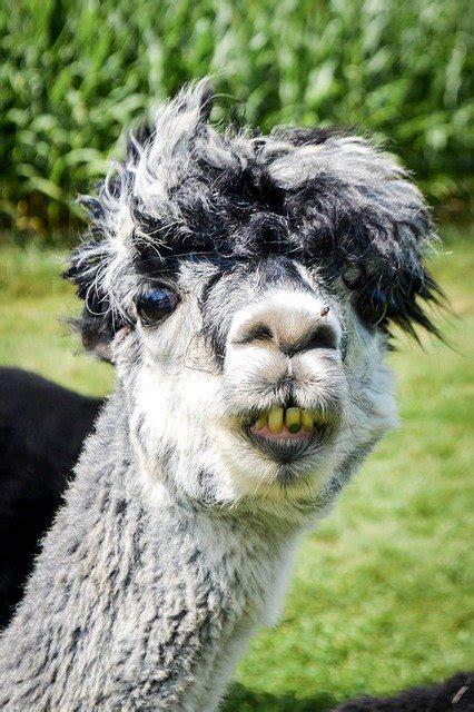 photo llama alpaca funny green smile
