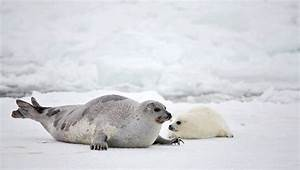 Harp Seal Mother and Newborn Pup | Seal Facts and Information