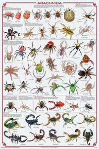 Spider Identification Chart California Arachnida Philadelphia Insectarium And Butterfly Pavilion