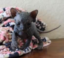 sphynx cat for ohio gallery dare2b bare sphynx