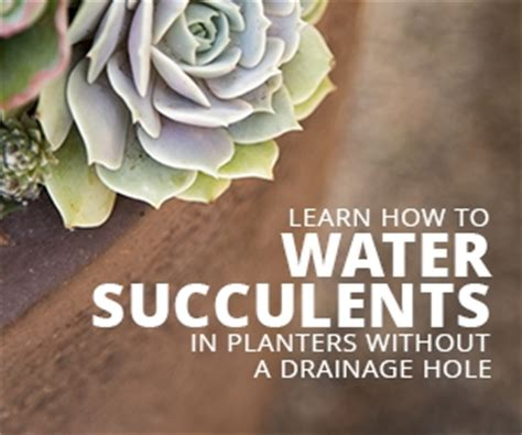 how much to water succulents watering succulents in pots without a drainage hole succulents and sunshine