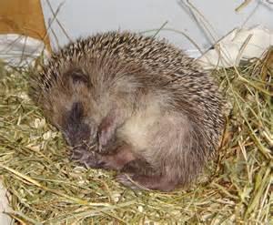 un h 233 risson qui dort pendant l hibernation ne doit surtout