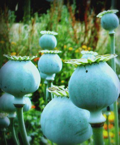 blue poppy pods   granine blue  green poppies