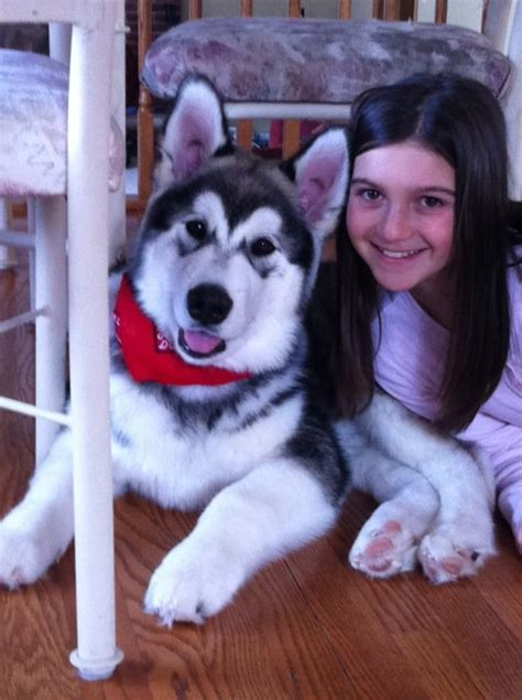 Do Malamutes Shed by 100 100 Do Malamutes Shed More Sled Dogs Explained