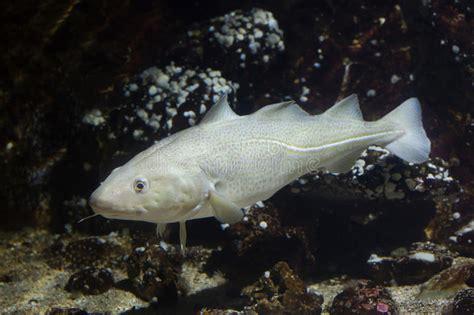 Atlantic cod Gadus morhua. stock image. Image of biscay - 81407627
