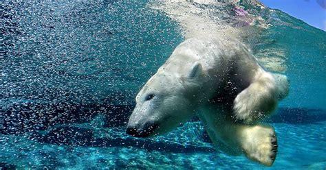 windows 7 post it bureau ijsbeer duikt onderwater bureaublad achtergronden