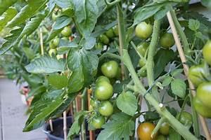Mondkalender Für Pflanzen : tomaten selber ziehen wann sollte man sie s en mondkalender 2019 ~ Orissabook.com Haus und Dekorationen