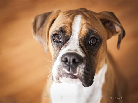 eye ulcers  common condition  boxers   adult dogs