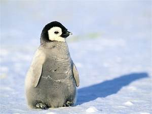 Penguin Facts, Types, Habitat, Diet, Adaptations, Pictures