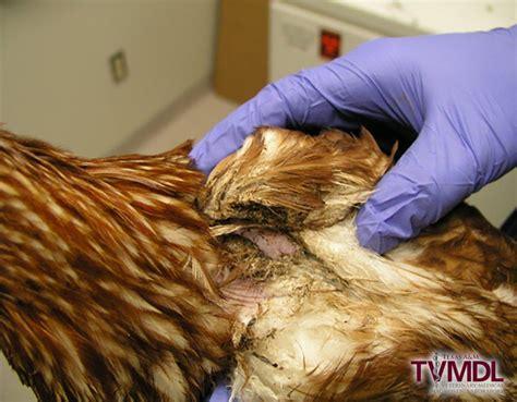 sticktight fleas body lice discovered   week