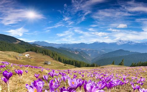 wallpaper crocus flowers mountains spring sunny day